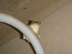 Tree frog buddy :)
